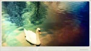 Swans in Stamford Park, Altrincham