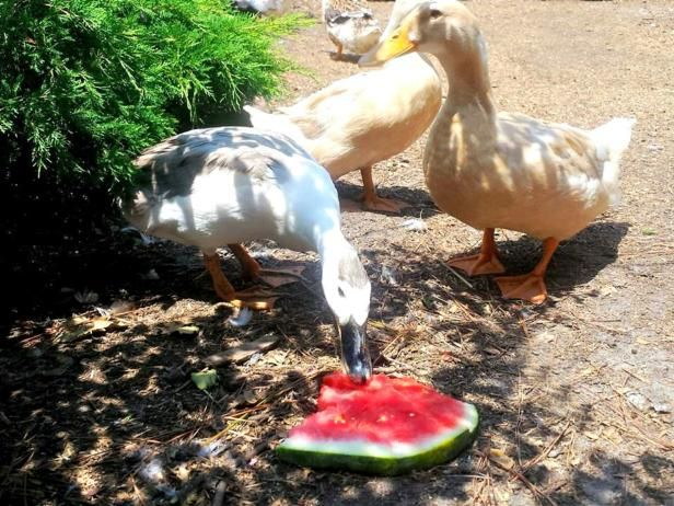 HGTV provides tips on what and what not to feed your backyard ducks.