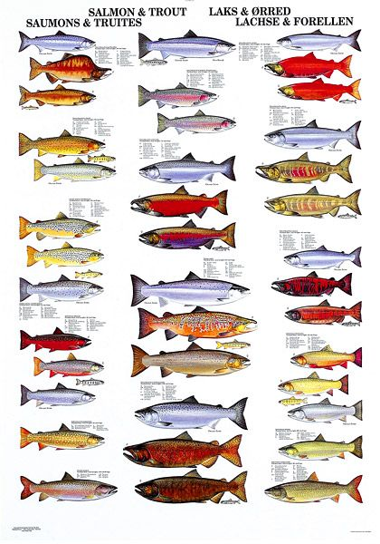 91 best images about fish i d charts on pinterest for Florida freshwater fish species