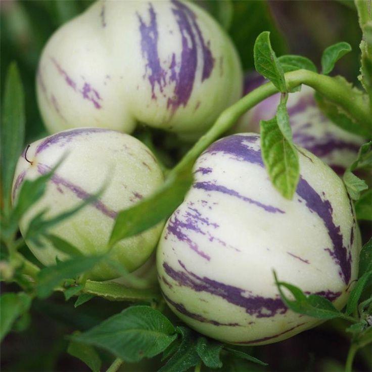 La poire melon est un fruit qui peut se consommer de différentes manières, aussi cru que cuit, en fruit ou en légume. Son goût délicat rappelle celui du melon et celui de la poire. Sa culture...