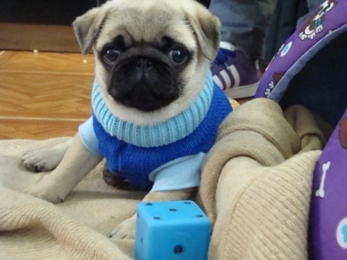 Oh, Pug puppies!