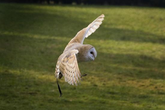 Turbary Woods Owl and Bird of Prey Sanctuary: Lilo, the male barn owl