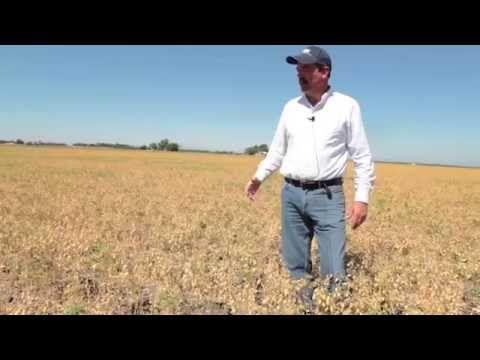 GARBONZO BEAN FARMER - talks harvest and late planting