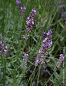 Here is a natural insect repellant recipe..    Vinegar of the Four Thieves    One part each {all plants are dry] Rosemary, Wormwood, Lavender, Sage, Mint    Place in a jar and cover with vinegar let set 7 days    Put on cloth and exposed skin repels ticks, fleas, and chiggers