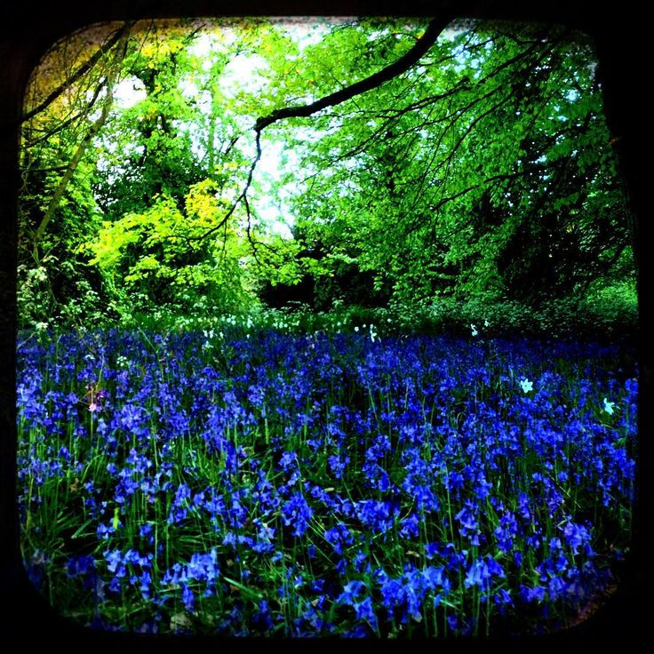 #inthewoods#bluebelllove#mayday #bankholidayweekend #london#alltheblues#secretgardens #parklife #blossomday #japaneselove #Keats#poems#rhymes#poetic#romantic#whereflowersdream #workinprogress #grasse#fragonardmuseum#perfume#