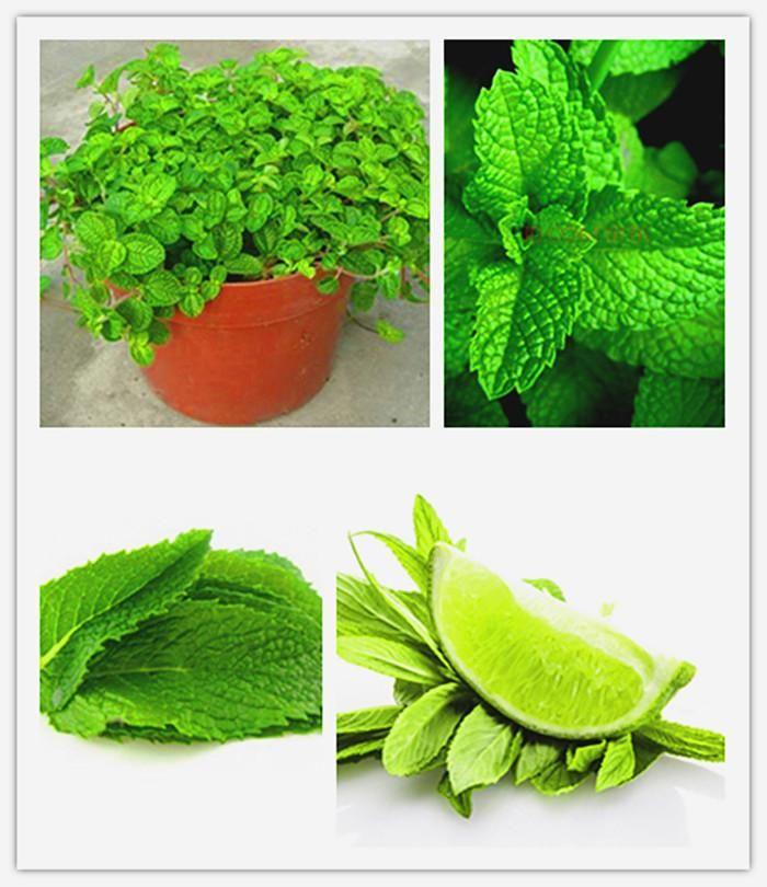 [Visit to Buy] 100 bonsai lemon mint seeds melissa original chinese herb seeds mint for eat #Advertisement
