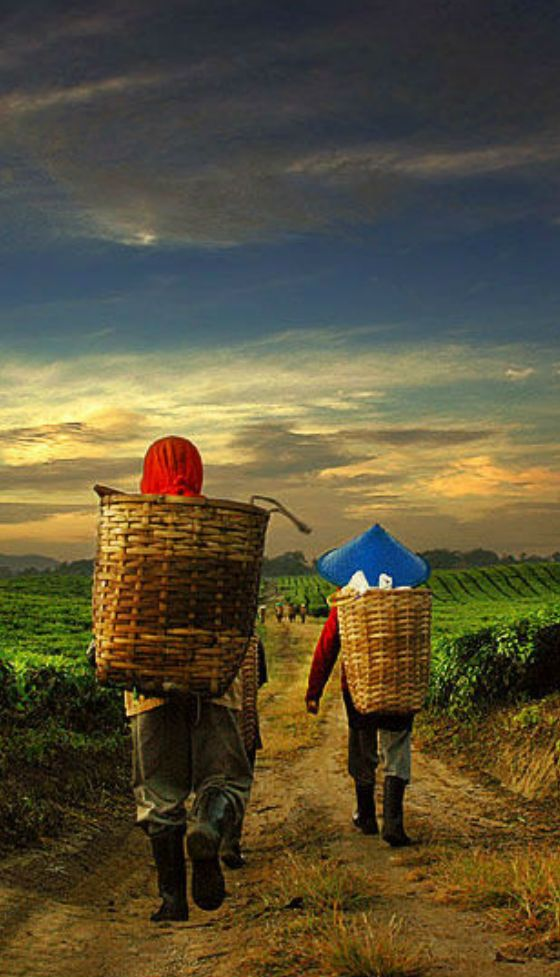 Ever have that end of day feeling? Tea pickers going home after a long days work in Indonesia.