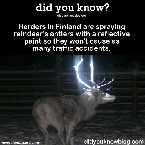 Herders in Finland are spraying reindeer's antlers with a reflective paint so they won't cause as many traffic accidents.