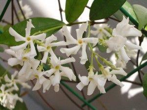 Трахелоспермум жасминовидный trachelospermum jasminoides