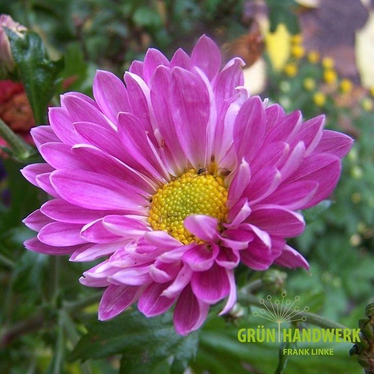 234 besten chrysanthemen astern echinacea bilder auf pinterest chrysanthemen mehrj hrige. Black Bedroom Furniture Sets. Home Design Ideas