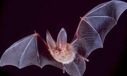 """HowStuffWorks """"13 Incredible Bat Facts"""""""