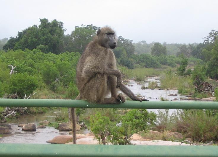 A baboon on lookout on Sabi High Level bridge, Kruger Park, South Africa.