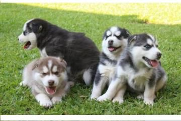 regalo obedientes cachorros husky siberiano - Categoria: Avisos Clasificados Gratis  Avisos Clasificados Gratis de Compra Venta en Mexico Regalo Obedientes y bien entrenados cachorros husky de forma gratis a todos Si usted esta mirando adelante a la adopcion de cachorros de husky siberiano, no busque mas como tengo algunos cachorros para dar a conocer a cualquier amante de los perros tengo unos cachorros Siberian Husky 2 machos y 2 hembras listos para cualquier hogar de amor y cariño. Para…