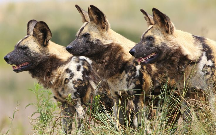 #68 of the #365reasonstovisitAfrica - Moremi Game Reserve in the Okavango Delta, is the ultimate destination to see the endangered and rare Wild dogs in their natural habitat. See Wild dogs while staying at Moremi Camp - http://ow.ly/4nenpk  #Botswana #Endangered