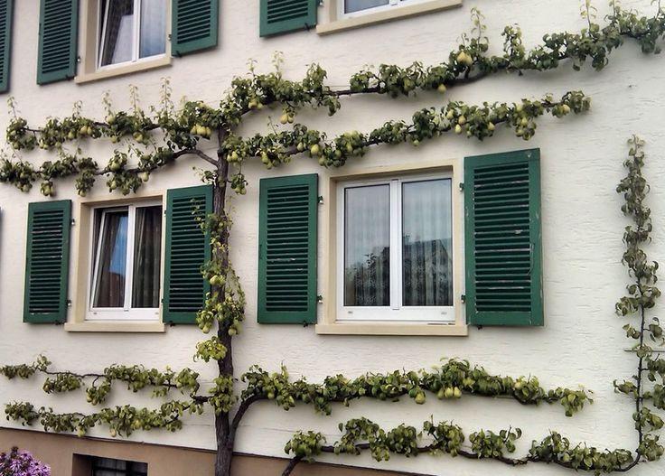 25 besten Espalier contre façade de maison. Bilder auf Pinterest ...