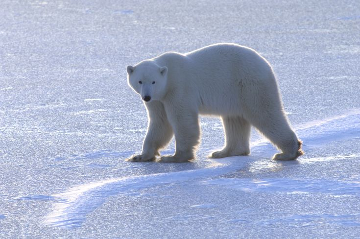 A young polar bear on the shores of Hudson Bay in Manitoba, Canada in November waiting for the sea ice to re-form.