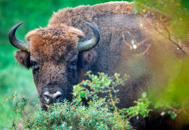 """Wild Bison return to Europe after a century » """"Rewilding"""" movement spreads across the continent."""