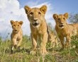 """Lion cubs investigating """"Beetle Cam"""" and saying """"Can we eat it"""" """"I dunno, but it looks fun to play with."""" """"Let's get it!"""" This slideshow is full of gorgeous lion pics!"""