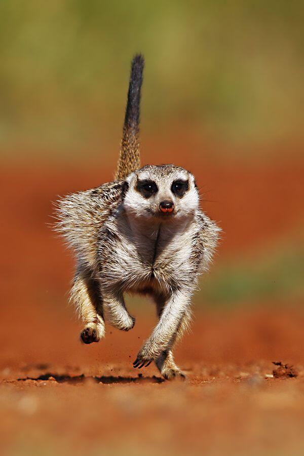 Small Animal Reptiles And Amphibian Habitats: 15 Best Meerkat Images On Pinterest