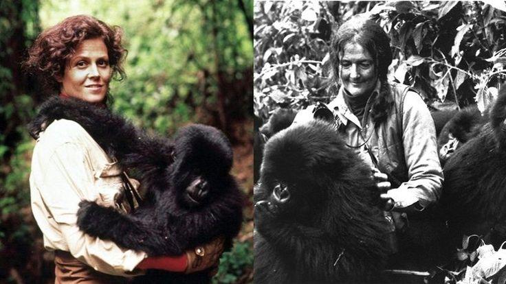 La célèbre éthologue américaine immortalisée par Sigourney Weaver dans Gorilles dans la brume aurait fêté aujourd'hui son quatre-vingt-deuxième anniversaire. Google la met à l'honneur.