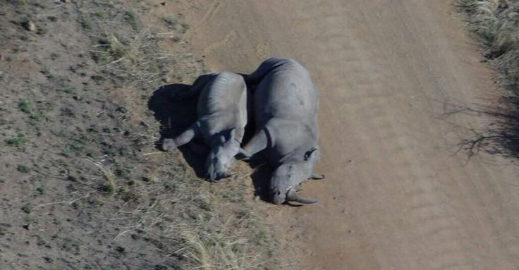 If Only They Were Sleeping… Another Triple Rhino Poaching Tragedy