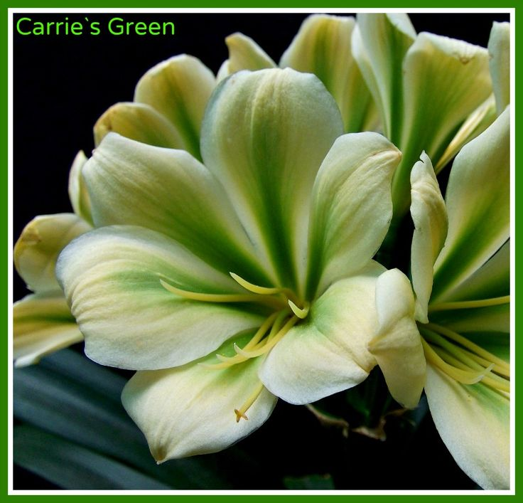 Carrie`s Green