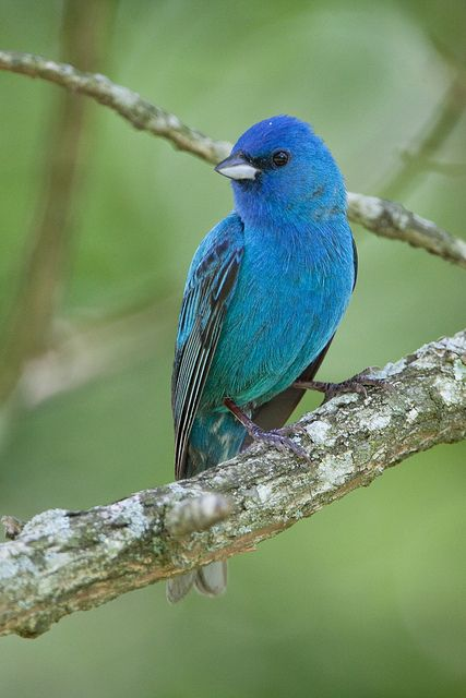indigo bunting #bird have one of these in my yard I love it and the color is awesome