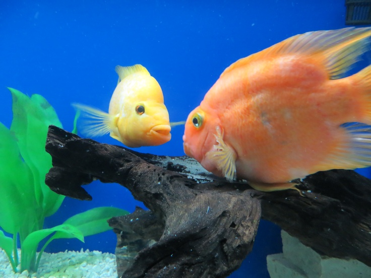 1000 images about new tank ideas on pinterest cherries for Blood parrot fish