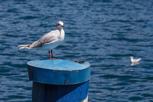 Seagull, Ptak, Stos, Wody, Seevogel