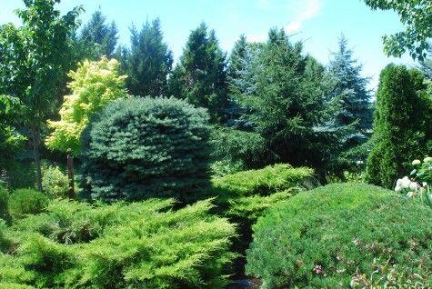 145 best conifer garden images on pinterest garden. Black Bedroom Furniture Sets. Home Design Ideas