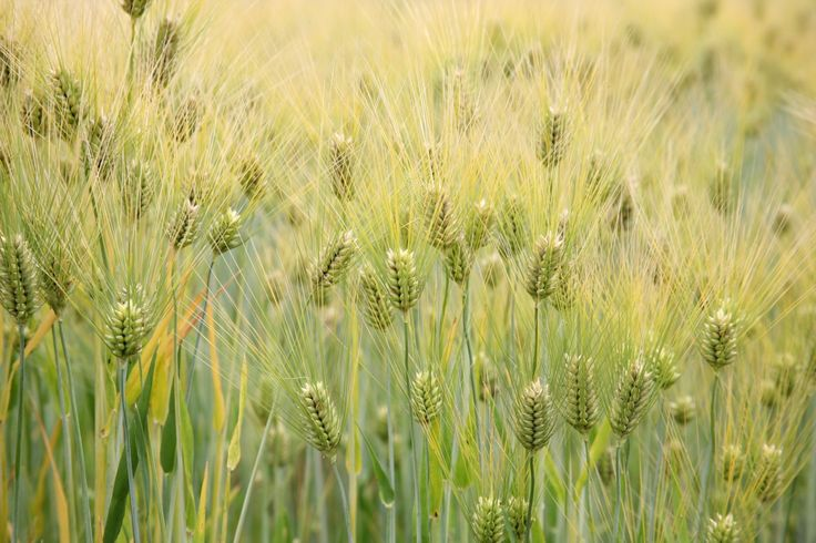Barley_(Hordeum_vulgare)_-_United_States_National_Arboretum_-_