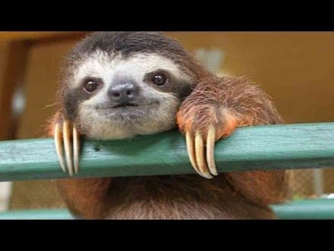 Inside a Baby Sloth Orphanage and Rescue Center - YouTube  SD