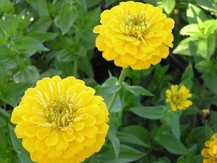 Yellow Zinnias grown by Bare Mtn Farm