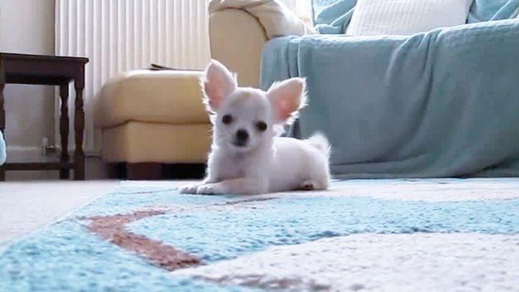 Tanto piccolo, quanto energico. Questo Chihuahua bianco vi strapperà un sorriso ° twitter@fulviocerutti °