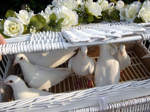 Witte duiven in een mand www.allebruidsduiven.nl