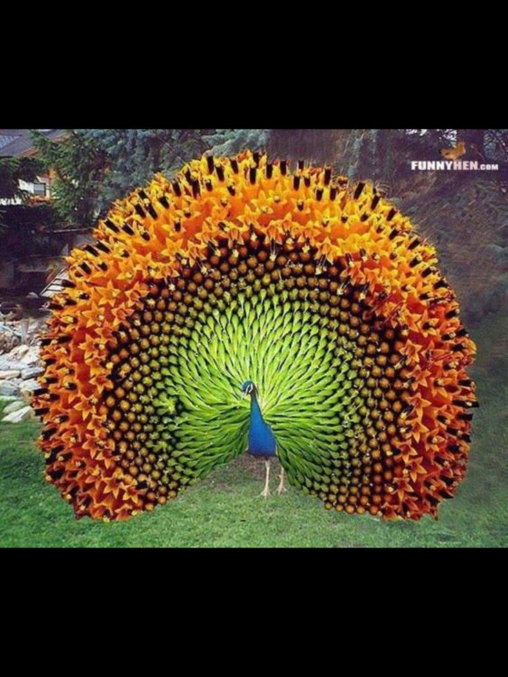 Sunflower peacock