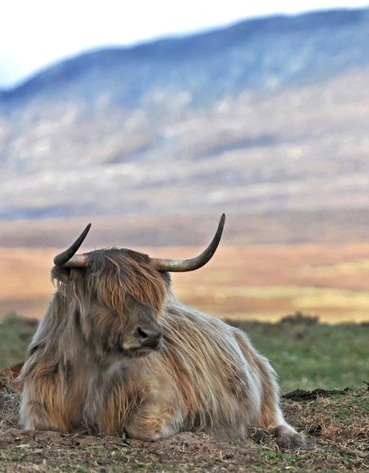 Highland Cattle or Scottish Cattle Breed [OC][1001284]