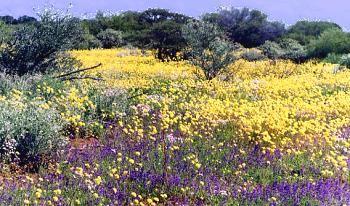 Western Australian wildflowers near Denham