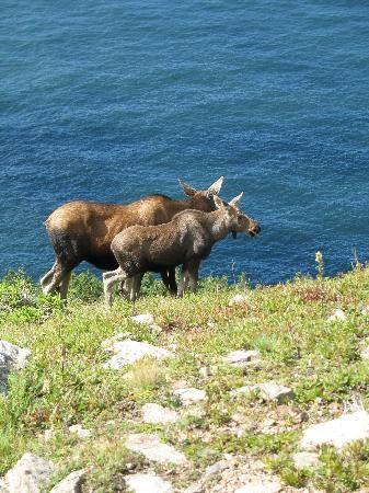 Two Moose on Skyline Trail - Cape Breton Island, Nova Scotia, Canada 🍁 ;)