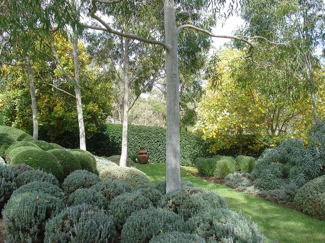 Lemon Scented Gums, Coastal Rosemary French Lavender, Echiums, Helichysums and Teucriums.