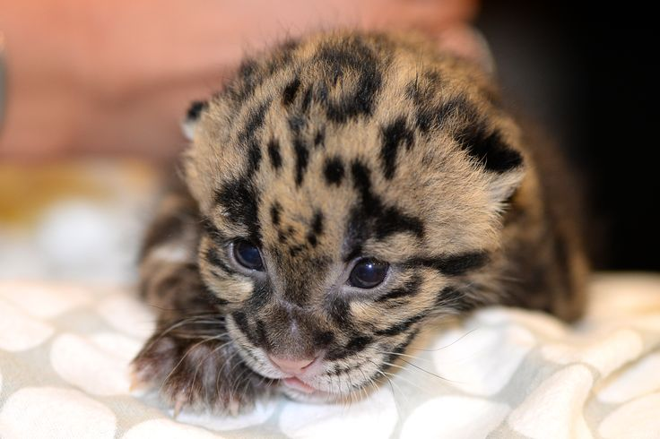 An endangered Clouded Leopard kitten, born March 7 at Tampa's Lowry Park Zoo, has become a worldwide ambassador for his imperiled species. Images and video of the rare newborn have been shared around the globe. Learn more, see more: http://www.zooborns.com/zooborns/2015/03/tampas-clouded-leopard-kitten-is-a-superstar.html