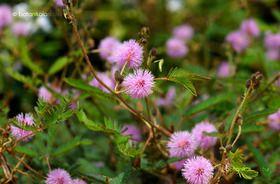 Szemérmes Mimóza (Mimosa pudica)