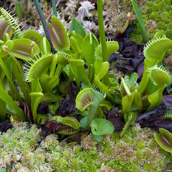 Learn how to take care of and grow a Venus flytrap. Follow these tips and hints when growing a gorgeous Venus flytrap. These plants are easy-to-grow once you learn about them and thrive indoors.