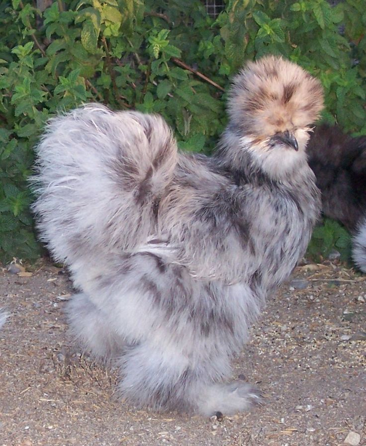 """a silkie chicken...the """"dog"""" of the chicken world. very tame, loves petting and sitting on laps. :)"""