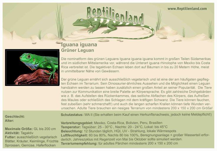 Grüner Leguan - kompakte Übersicht der Haltungsbedingungen. Unsere Karteikarten können auch zum Beschriften von Terrarien verwendet werden. Ausführliche Haltungsinformationen zur Haltung von Iguana iguana gibt es auf www.reptilienland.com