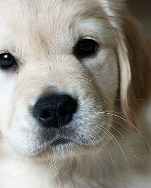 <3 This Labrador Retriever puppy wants a kiss <3