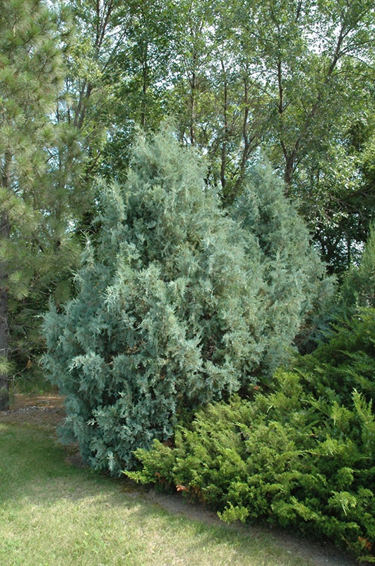 93 Best Evergreen Trees Images On Pinterest Evergreen