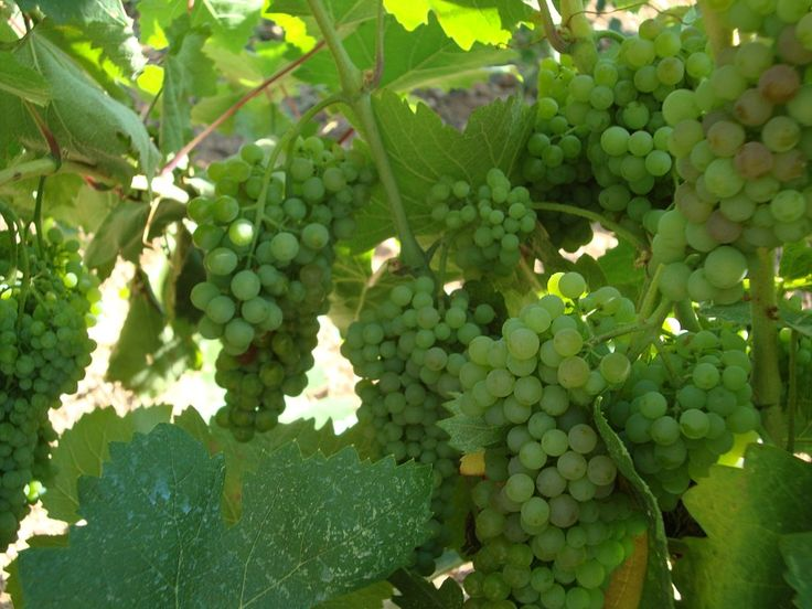 Tread the grapes, Drink the wine! http://www.handpickedgreece.com/tread-the-grapes-drink-the-wine/#sthash.oxk61DQ5.qjtu