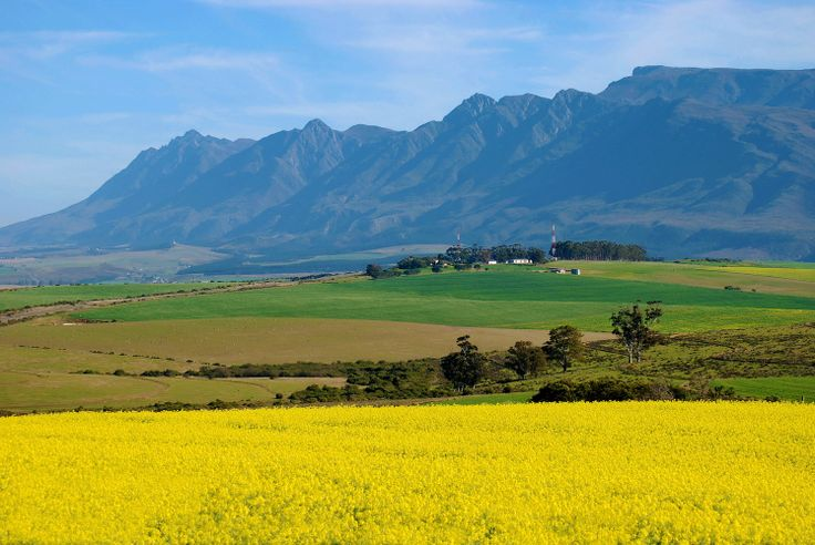 Canola & Wheat Fields in the Overberg in South Africa