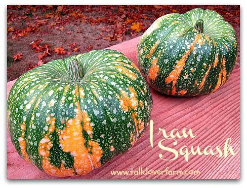 Great Pumpkins: Eye Candy and Great Eating/great pumpkins Iran squash